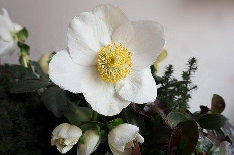 christmas-rose-1076576_640.jpg