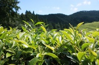green-tea-plantation-497792_640.jpg