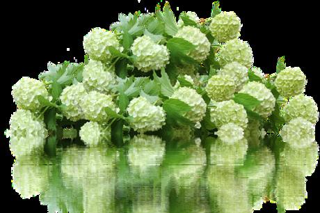 hydrangea-2595191_640.png