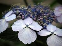 hydrangea-789480_640.jpg