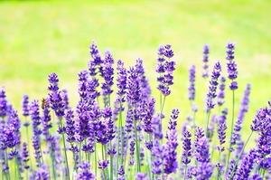 lavender-2117431_640.jpg
