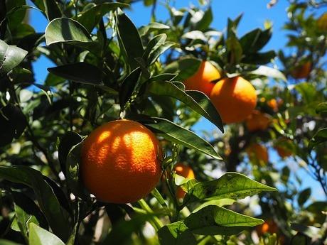 愛媛の柑橘類・紅まどんな|ゼリーのような美味しさ!