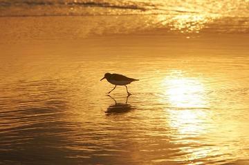 sanderling-737008_640.jpg