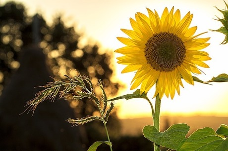 sunflower-1127174_640.jpg