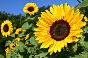 sunflower-1627193_640.jpg